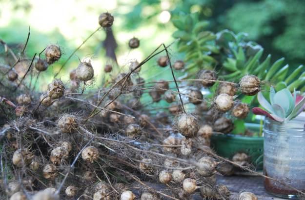 Seed saving (Nigella)