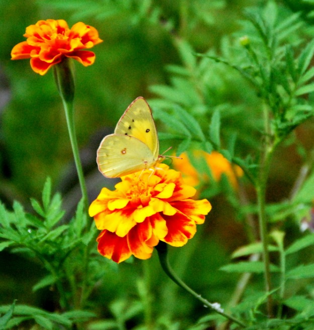 Pretty yellow butterfly