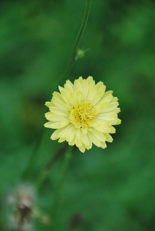 Little yellow wildflower (a perk of not weeding the garden!)