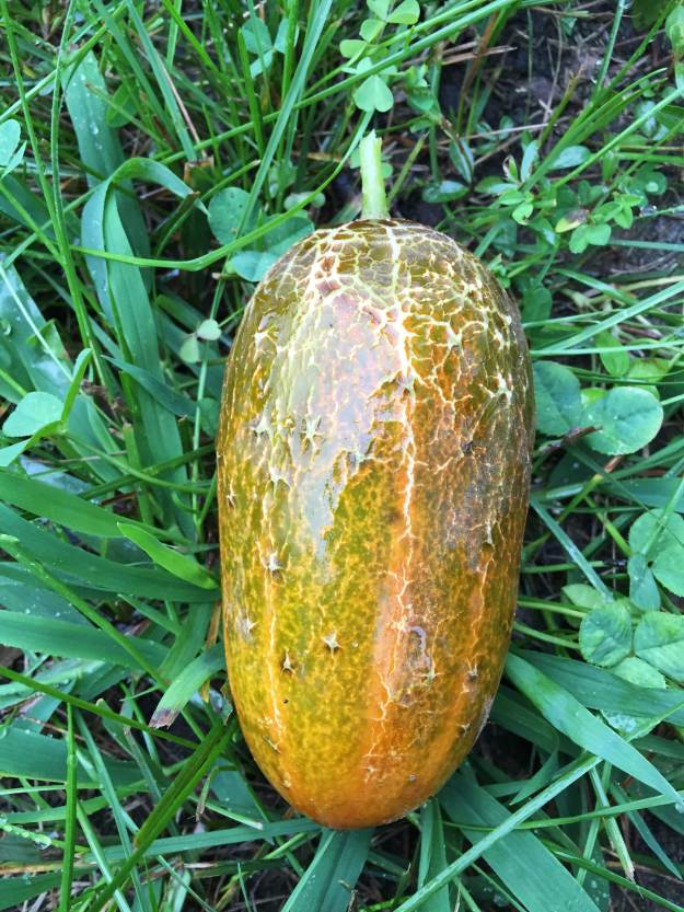 Sikkim cucumber (wet with rainwater) has a cool orange color and a crackle finish! (tastes the same as regular cucumbers)