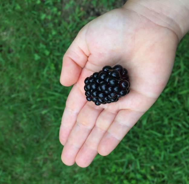 The blackberries are nearly as big as baby's palm!
