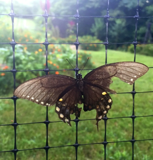 A tattered butterfly resting on the deer fence