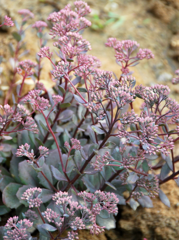 A nice grey-blue-purple variety of sedum.
