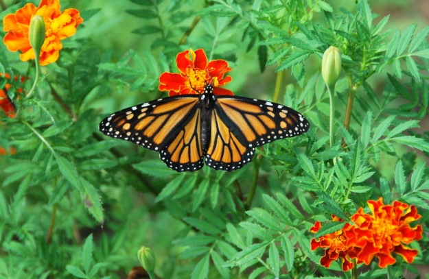 Monarch; my favorite!