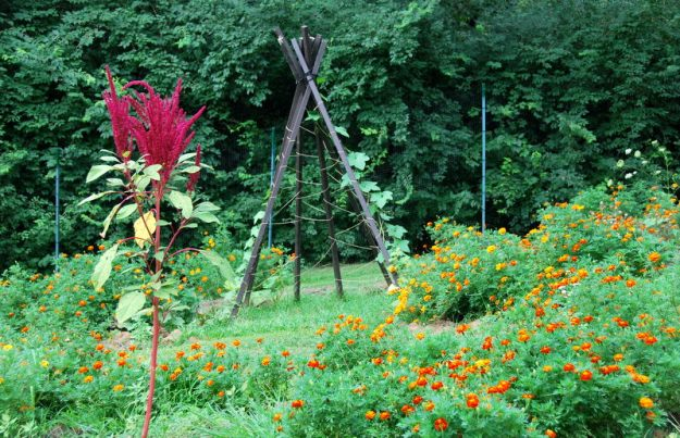 A large Hartman's Giant amaranth plant (these self-sow in our garden every year) and you can see the loofah gourds climbing up the teepee in the background
