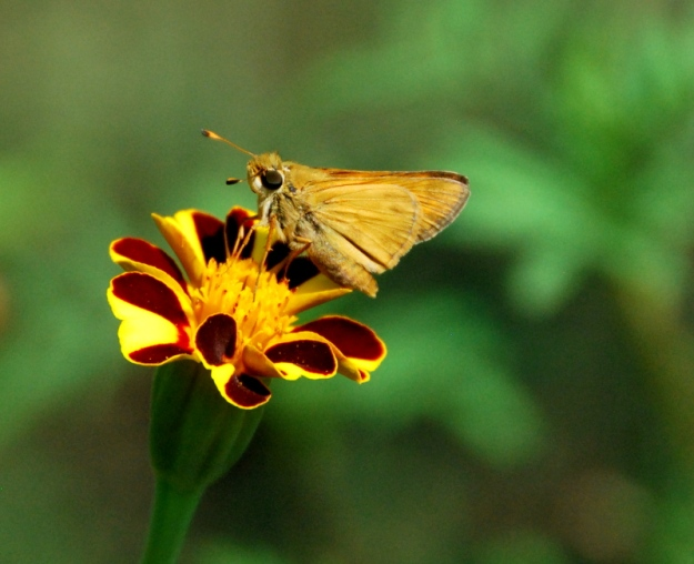 Little yellow moth on Harlequin marigold