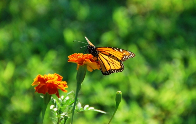 Monarch on Marigold
