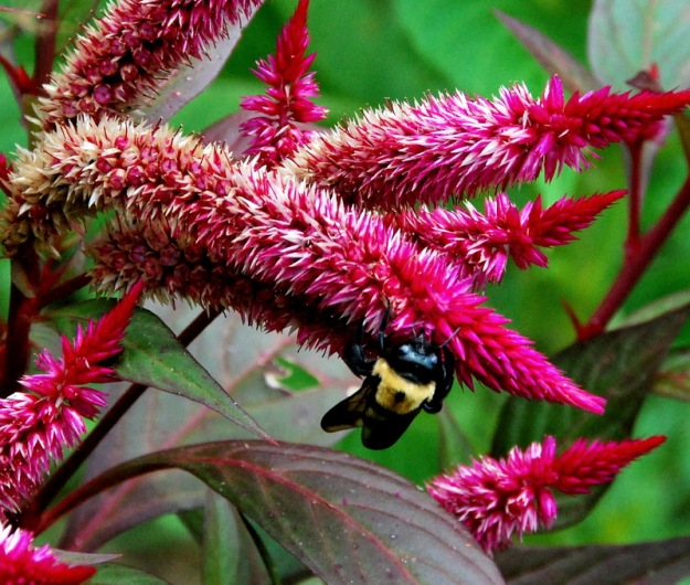 Bumblebee on Celosia