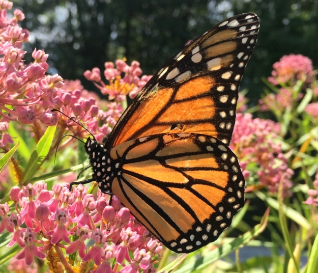 Monarch on milkweed. Normally I take a lighter and burn off all those little yellow bugs off the milkweed but I didn't get to that this year.