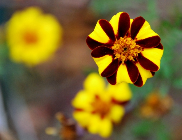 Harlequin Marigold (or Court Jester)