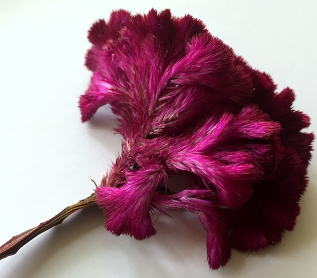 "A little burgundy ""woolflower"" also known as ""brain celosia"" cockscomb is in the amaranth family."