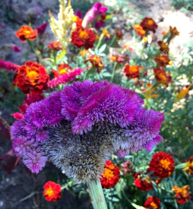 A violet woolflower