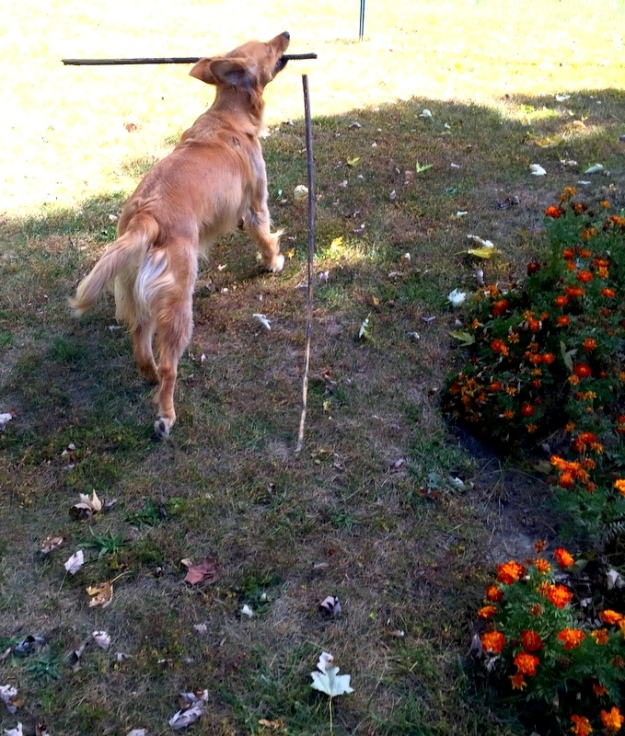 Dexie cleaning up the sunflower stalks