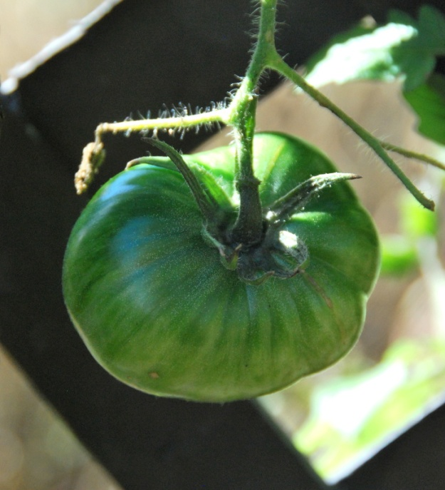 This will be ripening on the countertop tomorrow: first frost of Spy Garden expected tonight!