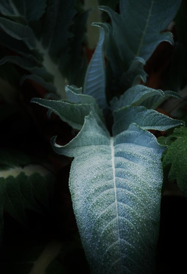 Artichoke Plant (2012)