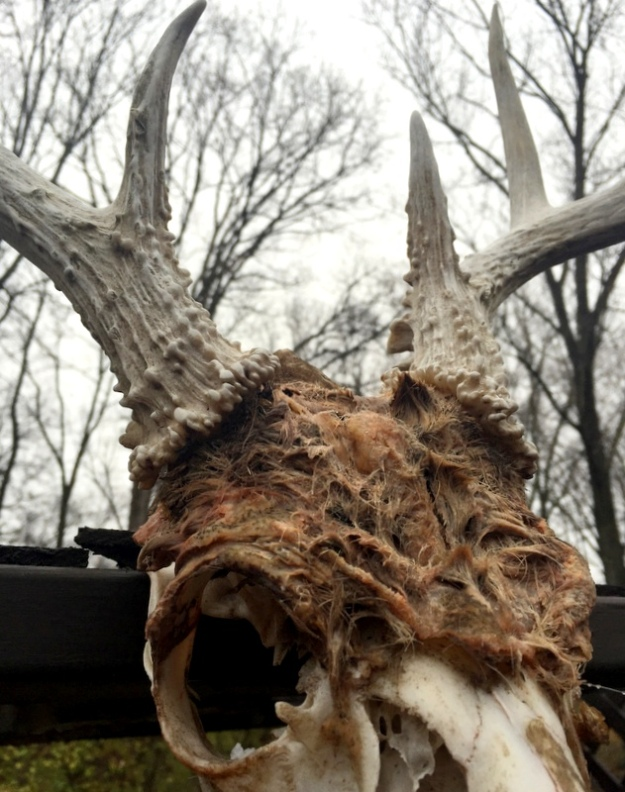 A lot of fur still on this deer skull (found by Dexie well over a year ago)