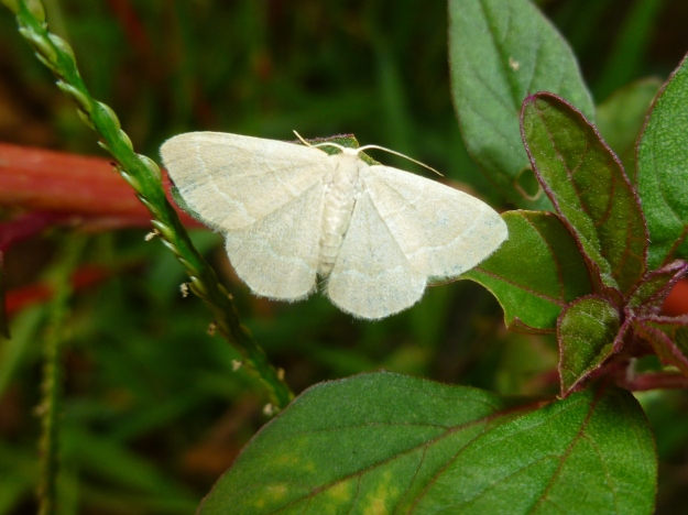 Little white moth/butterfly
