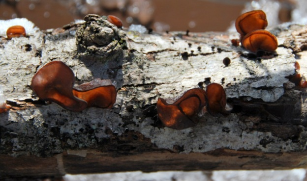 Wood ear mushrooms on a log...that reminds me of the head of an alligator