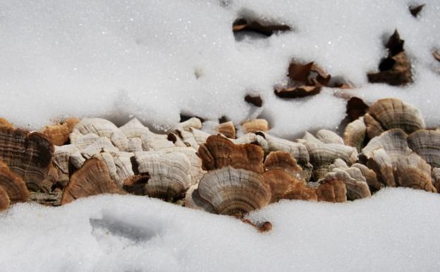 Turkey tail mushrooms...though if I named them I would call them seashell mushrooms