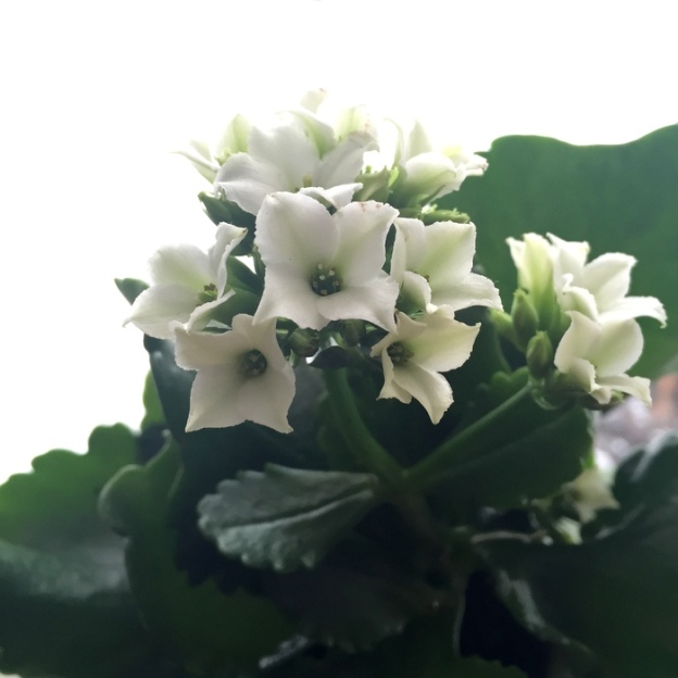Snowy white kalanchoe blooms
