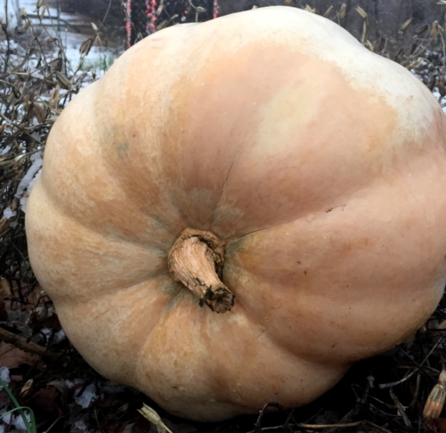 Pumpkin (from the grocery stote; going to see if pumpkin plants will grow from this)