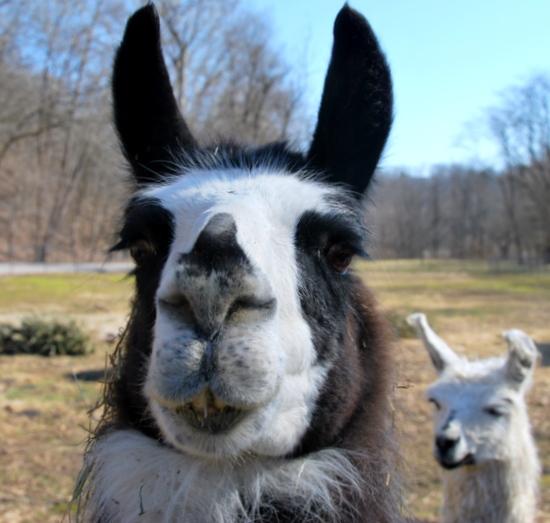 Easter Bunny Llama haha