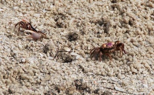 Little fiddler crabs