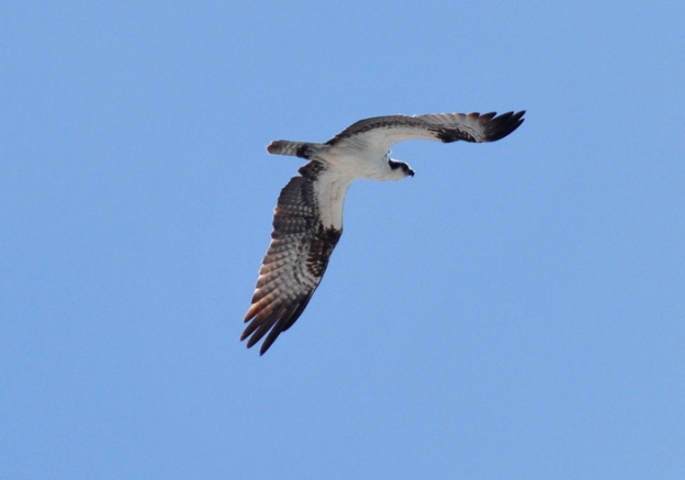 Another osprey