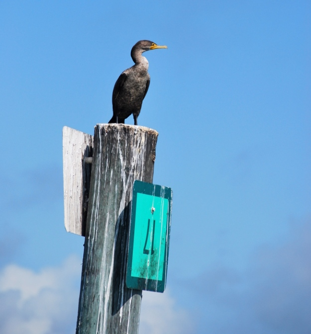 Cormorant on a channel marker