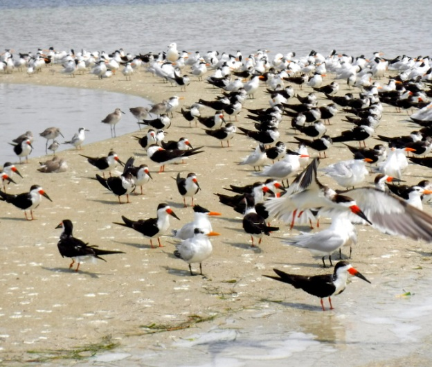 Royal Terns, Black Skimmers and other birds