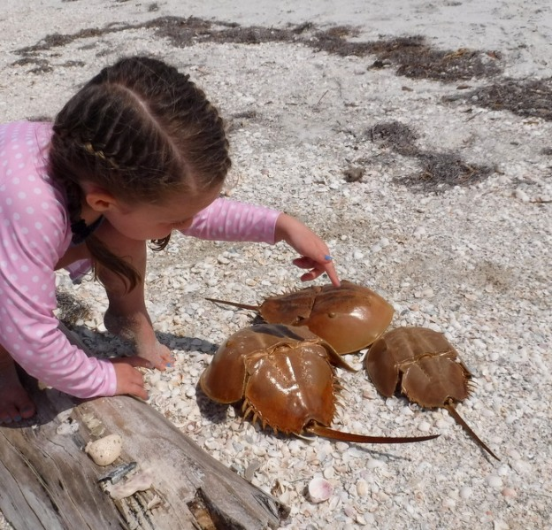 (dead) Horseshoe crabs