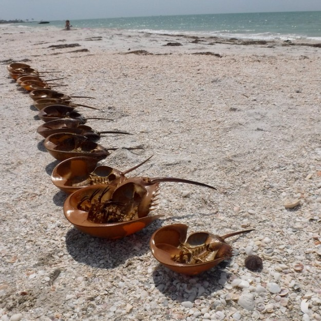 A nice collection of (dead) horseshoe crabs