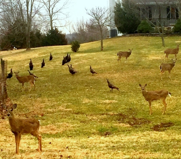 I snapped this today near our home. 18 deer/turkeys in this photo!!! It almost looks fake!