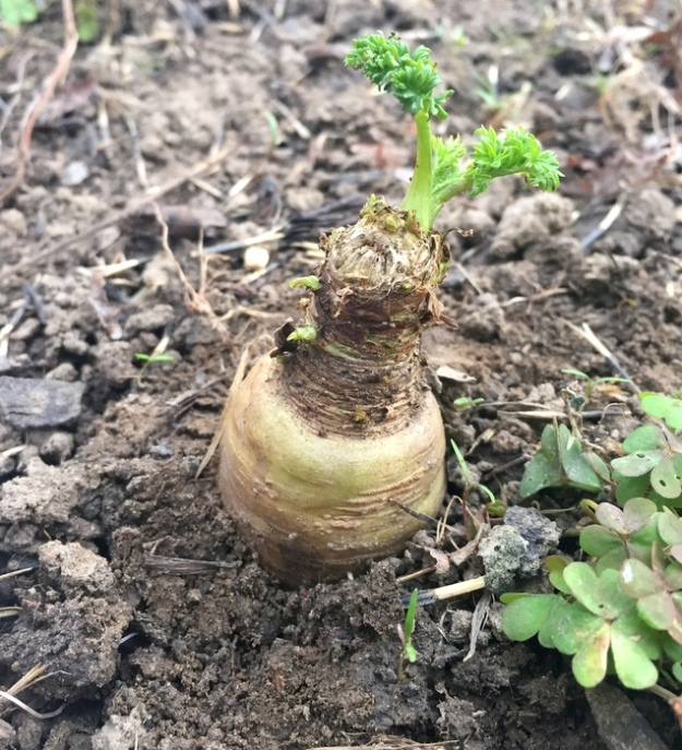 A white carrot (overwintered)