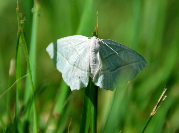 Bright white moth
