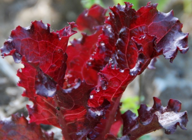 Very red lettuce