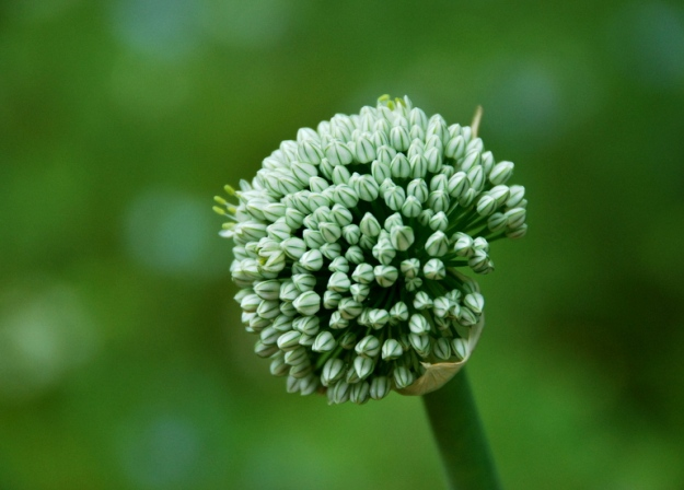 Onion seed pod