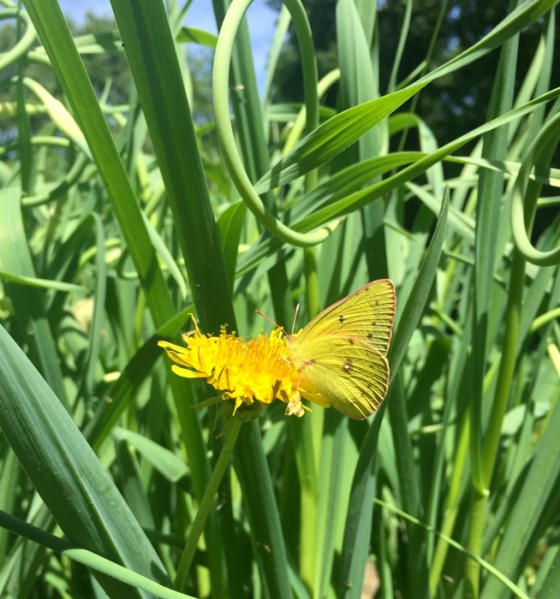 Butterfly enjoying a marigold among the garlic scapes
