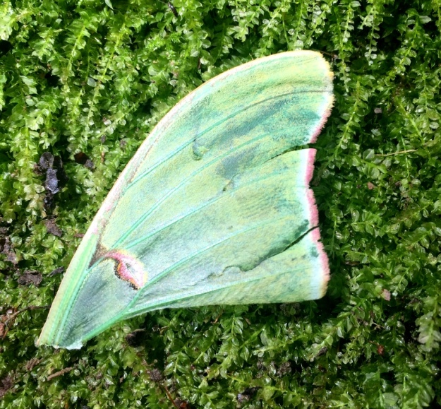 Part of a lunar moth wing (I think)