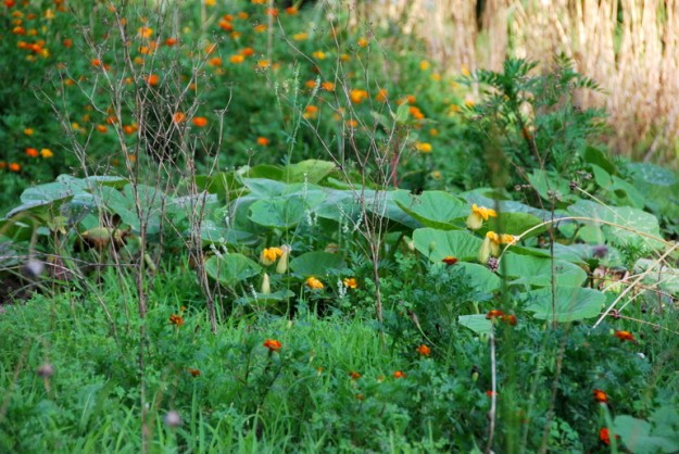 This picture is a good representation of whats going on in the garden; lots of weeds (hopefully!) winter squash, marigolds and weeds