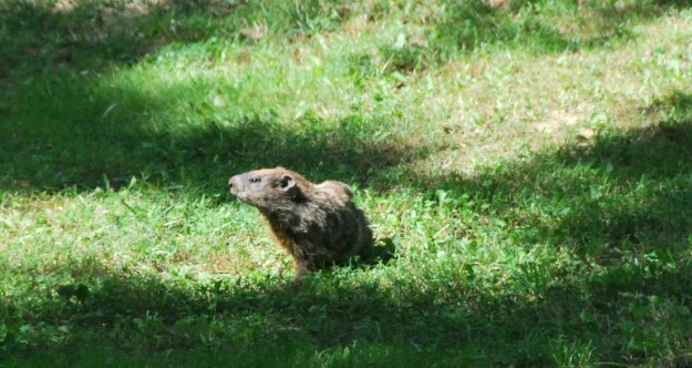 We see this groundhog often in our backyard