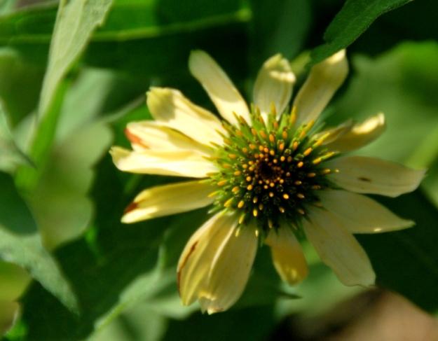 Yellow echinacea