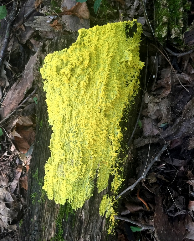 Very yellow fungus/mushrooms on a log in the woods