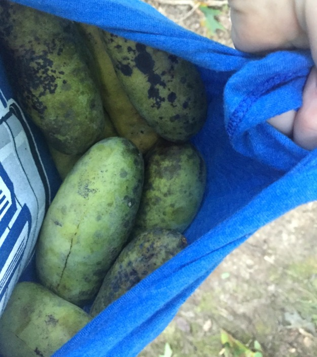 Check out all the paw paws! Collected on a run.