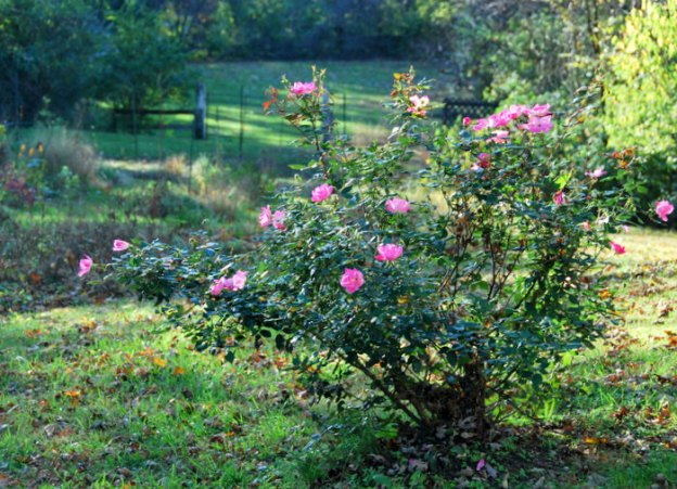 Knockout Rose bush