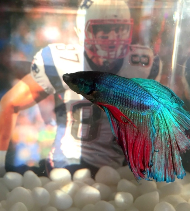 Gronk the Betta fish with Rob Gronkowski