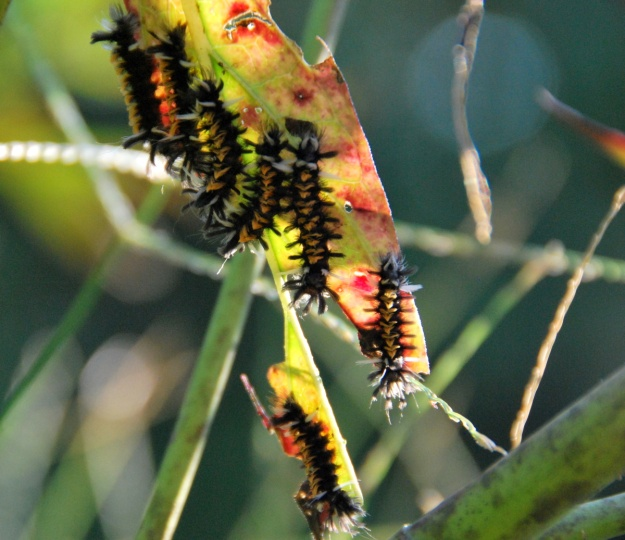 Tussock moth caterpillars