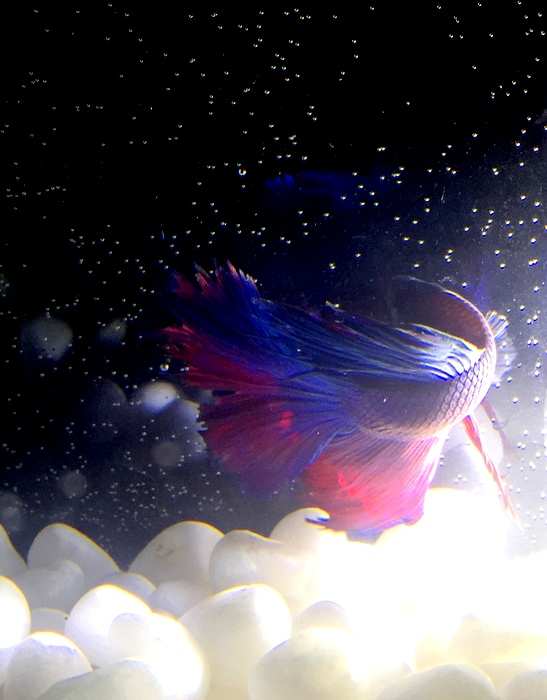 Betta fish; Gronk (named after Ron Gronkowski a football player)