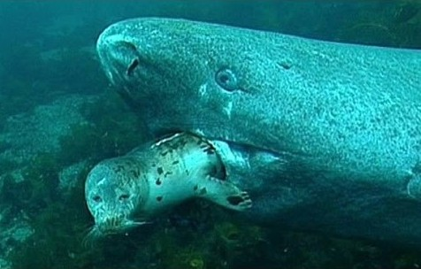 The Greenland Shark (which can live to 400 YEARS OLD!!!) (source of image)