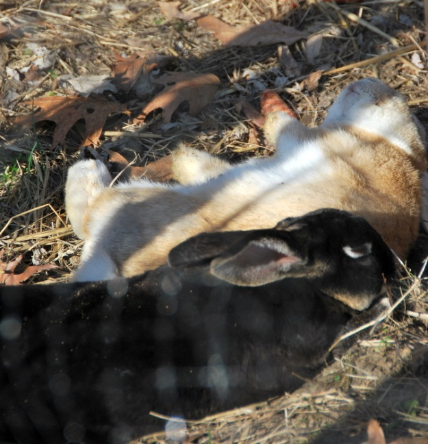 The bunnies were loving the sunshine and rolled, dug and binkyed about!